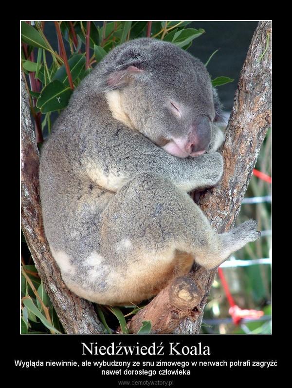 Niedźwiedź Koala – Wygląda niewinnie, ale wybudzony ze snu zimowego w nerwach potrafi zagryźćnawet dorosłego człowieka