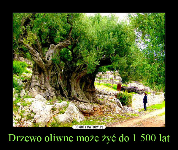 Drzewo oliwne może żyć do 1 500 lat –