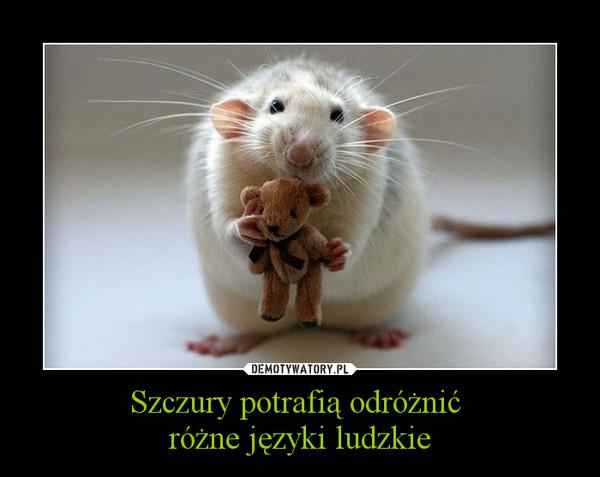 Szczury potrafią odróżnić różne języki ludzkie –