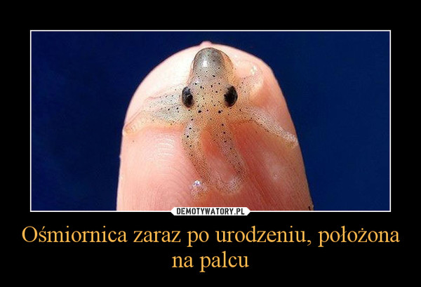 Ośmiornica zaraz po urodzeniu, położona na palcu –