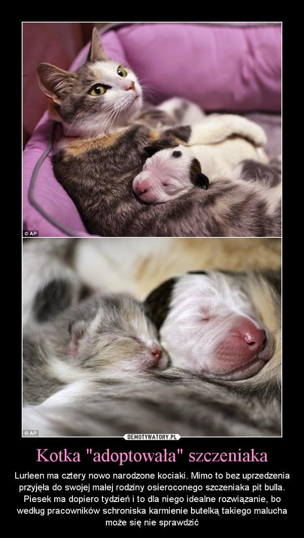 """Kotka """"adoptowała"""" szczeniaka – Lurleen ma cztery nowo narodzone kociaki. Mimo to bez uprzedzenia przyjęła do swojej małej rodziny osieroconego szczeniaka pit bulla. Piesek ma dopiero tydzień i to dla niego idealne rozwiązanie, bo według pracowników schroniska karmienie butelką takiego malucha może się nie sprawdzić"""