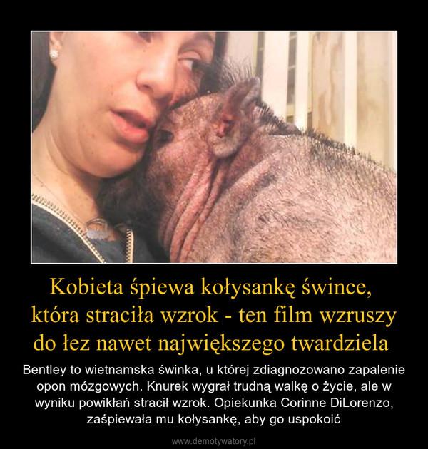 Kobieta śpiewa kołysankę śwince, która straciła wzrok - ten film wzruszy do łez nawet największego twardziela  – Bentley to wietnamska świnka, u której zdiagnozowano zapalenie opon mózgowych. Knurek wygrał trudną walkę o życie, ale w wyniku powikłań stracił wzrok. Opiekunka Corinne DiLorenzo, zaśpiewała mu kołysankę, aby go uspokoić