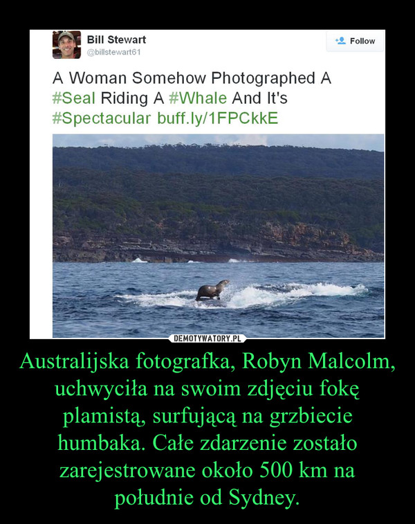 Australijska fotografka, Robyn Malcolm, uchwyciła na swoim zdjęciu fokę plamistą, surfującą na grzbiecie humbaka. Całe zdarzenie zostało zarejestrowane około 500 km na południe od Sydney. –
