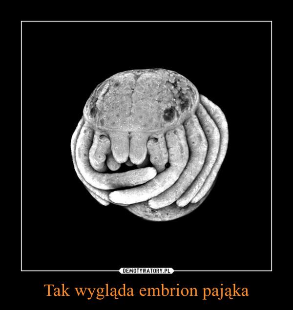 Tak wygląda embrion pająka –