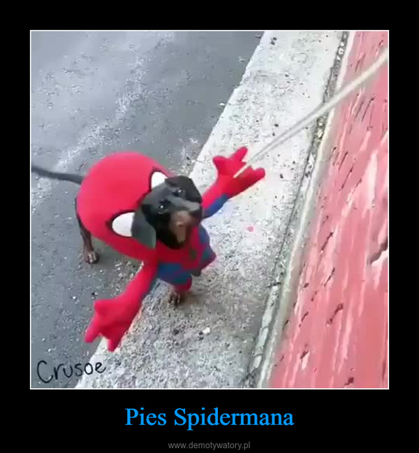 Pies Spidermana –