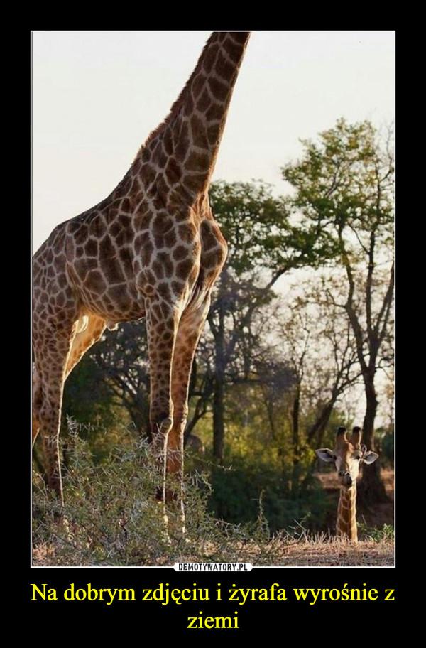 Na dobrym zdjęciu i żyrafa wyrośnie z ziemi –