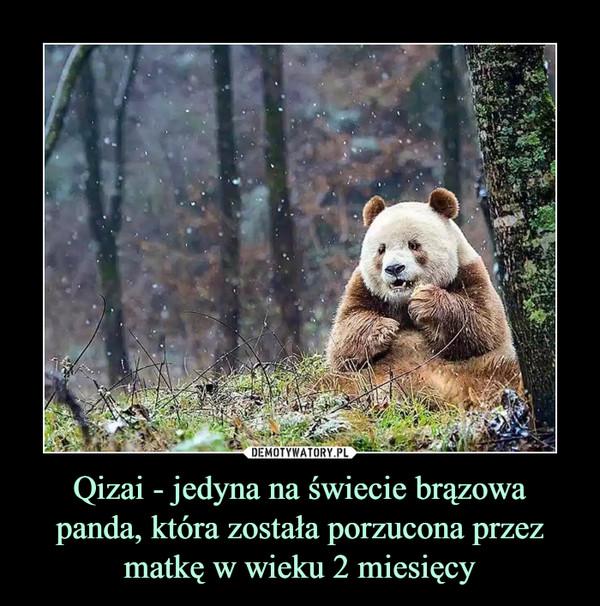 Qizai - jedyna na świecie brązowa panda, która została porzucona przez matkę w wieku 2 miesięcy –