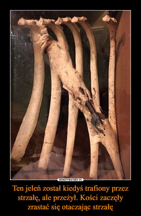 Ten jeleń został kiedyś trafiony przez strzałę, ale przeżył. Kości zaczęły zrastać się otaczając strzałę –