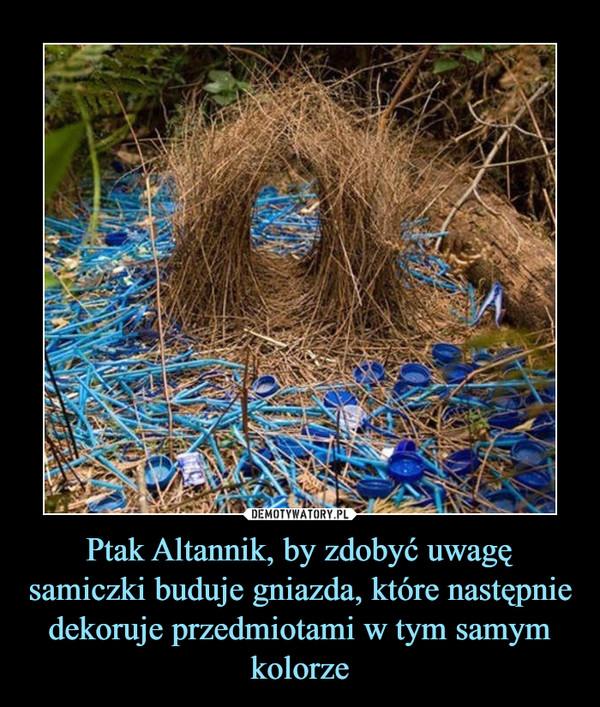 Ptak Altannik, by zdobyć uwagę samiczki buduje gniazda, które następnie dekoruje przedmiotami w tym samym kolorze –