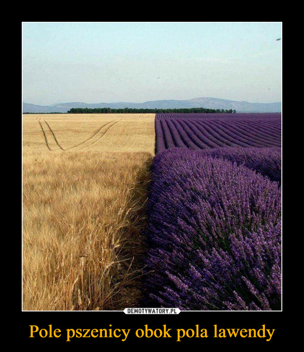 Pole pszenicy obok pola lawendy –