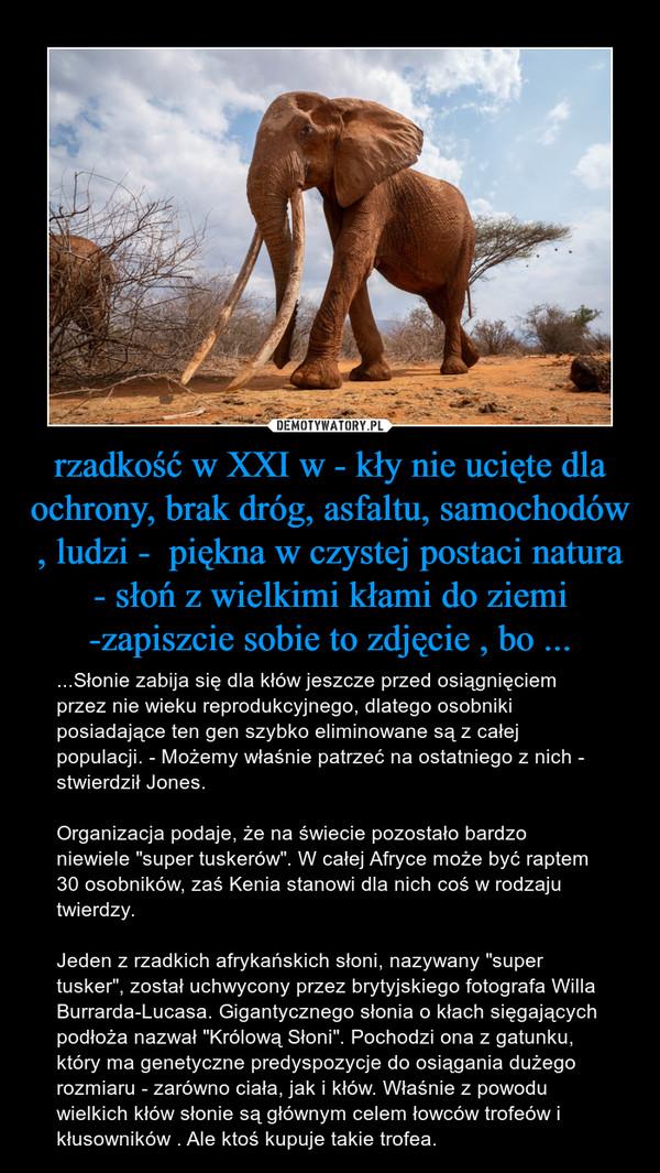 """rzadkość w XXI w - kły nie ucięte dla ochrony, brak dróg, asfaltu, samochodów , ludzi -  piękna w czystej postaci natura - słoń z wielkimi kłami do ziemi -zapiszcie sobie to zdjęcie , bo ... – ...Słonie zabija się dla kłów jeszcze przed osiągnięciem przez nie wieku reprodukcyjnego, dlatego osobniki posiadające ten gen szybko eliminowane są z całej populacji. - Możemy właśnie patrzeć na ostatniego z nich - stwierdził Jones.Organizacja podaje, że na świecie pozostało bardzo niewiele """"super tuskerów"""". W całej Afryce może być raptem 30 osobników, zaś Kenia stanowi dla nich coś w rodzaju twierdzy.Jeden z rzadkich afrykańskich słoni, nazywany """"super tusker"""", został uchwycony przez brytyjskiego fotografa Willa Burrarda-Lucasa. Gigantycznego słonia o kłach sięgających podłoża nazwał """"Królową Słoni"""". Pochodzi ona z gatunku, który ma genetyczne predyspozycje do osiągania dużego rozmiaru - zarówno ciała, jak i kłów. Właśnie z powodu wielkich kłów słonie są głównym celem łowców trofeów i kłusowników . Ale ktoś kupuje takie trofea."""