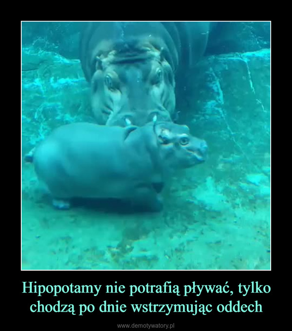 Hipopotamy nie potrafią pływać, tylko chodzą po dnie wstrzymując oddech –