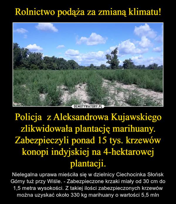 Policja  z Aleksandrowa Kujawskiego zlikwidowała plantację marihuany. Zabezpieczyli ponad 15 tys. krzewów konopi indyjskiej na 4-hektarowej plantacji. – Nielegalna uprawa mieściła się w dzielnicy Ciechocinka Słońsk Górny tuż przy Wiśle. - Zabezpieczone krzaki miały od 30 cm do 1,5 metra wysokości. Z takiej ilości zabezpieczonych krzewów można uzyskać około 330 kg marihuany o wartości 5,5 mln