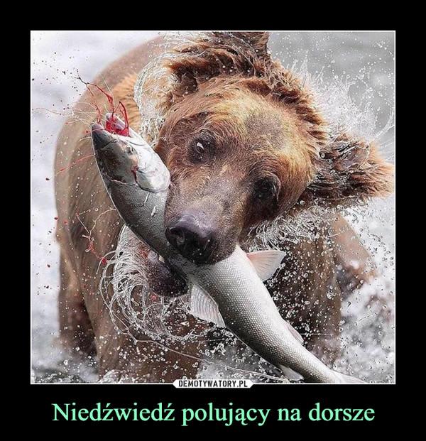 Niedźwiedź polujący na dorsze –