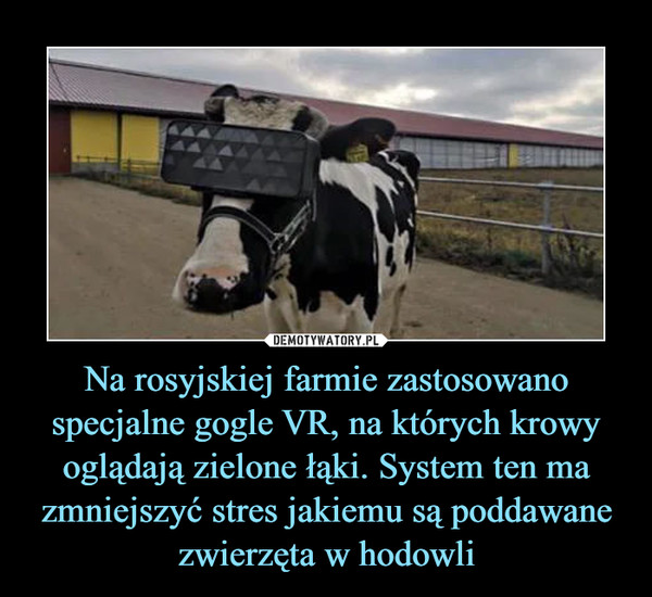 Na rosyjskiej farmie zastosowano specjalne gogle VR, na których krowy oglądają zielone łąki. System ten ma zmniejszyć stres jakiemu są poddawane zwierzęta w hodowli –