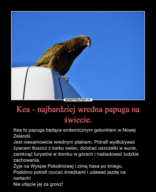 Kea - najbardziej wredna papuga na świecie. – Kea to papuga będąca endemicznym gatunkiem w Nowej Zelandii. Jest niesamowicie wrednym ptakiem. Potrafi wydłubywać żywcem tłuszcz z karku owiec, dziobać uszczelki w aucie, zamknąć turystów w domku w górach i naśladować ludzkie zachowania. Żyje na Wyspie Południowej i zimą hasa po śniegu. Podobno potrafi rzucać śnieżkami i udawać jazdę na nartach!Nie ufajcie jej za grosz!
