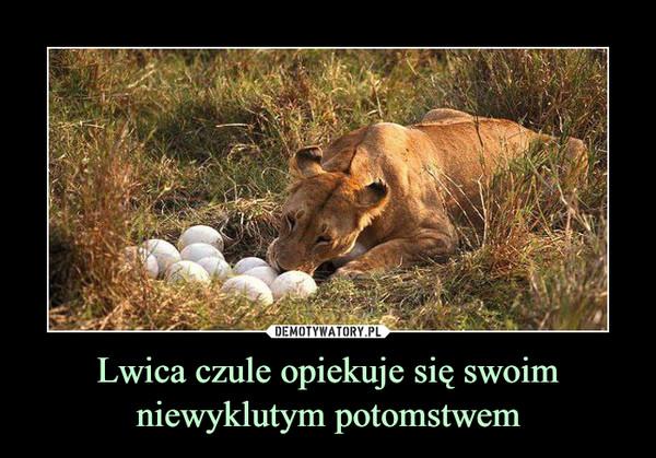 Lwica czule opiekuje się swoim niewyklutym potomstwem –
