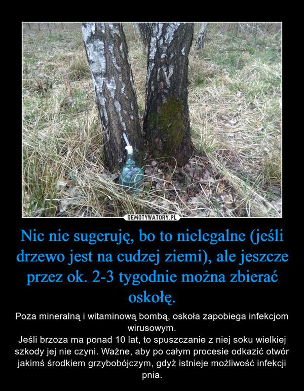 Nic nie sugeruję, bo to nielegalne (jeśli drzewo jest na cudzej ziemi), ale jeszcze przez ok. 2-3 tygodnie można zbierać oskołę. – Poza mineralną i witaminową bombą, oskoła zapobiega infekcjom wirusowym.Jeśli brzoza ma ponad 10 lat, to spuszczanie z niej soku wielkiej szkody jej nie czyni. Ważne, aby po całym procesie odkazić otwór jakimś środkiem grzybobójczym, gdyż istnieje możliwość infekcji pnia.