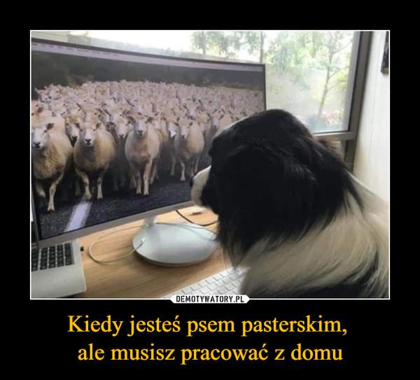 Kiedy jesteś psem pasterskim, ale musisz pracować z domu –