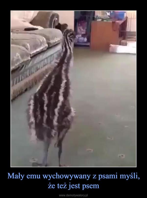 Mały emu wychowywany z psami myśli, że też jest psem –
