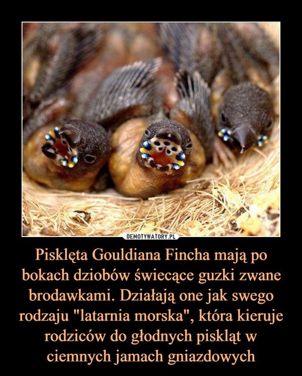 """Pisklęta Gouldiana Fincha mają po bokach dziobów świecące guzki zwane brodawkami. Działają one jak swego rodzaju """"latarnia morska"""", która kieruje rodziców do głodnych piskląt w ciemnych jamach gniazdowych –"""