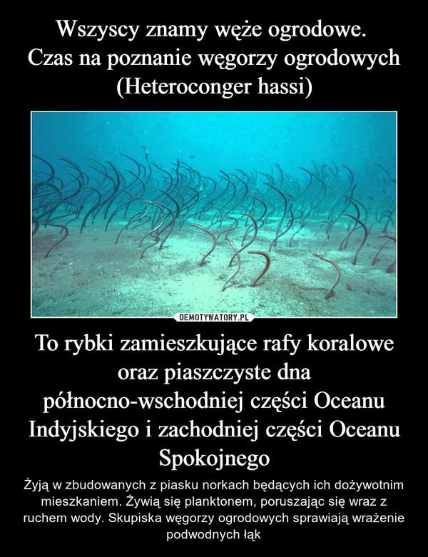 To rybki zamieszkujące rafy koralowe oraz piaszczyste dna północno-wschodniej części Oceanu Indyjskiego i zachodniej części Oceanu Spokojnego – Żyją w zbudowanych z piasku norkach będących ich dożywotnim mieszkaniem. Żywią się planktonem, poruszając się wraz z ruchem wody. Skupiska węgorzy ogrodowych sprawiają wrażenie podwodnych łąk