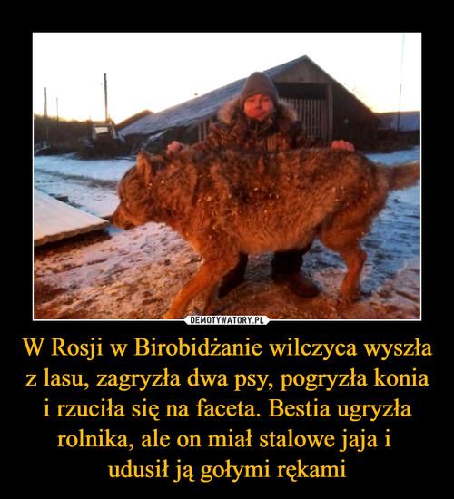 W Rosji w Birobidżanie wilczyca wyszła z lasu, zagryzła dwa psy, pogryzła konia i rzuciła się na faceta. Bestia ugryzła rolnika, ale on miał stalowe jaja i  udusił ją gołymi rękami