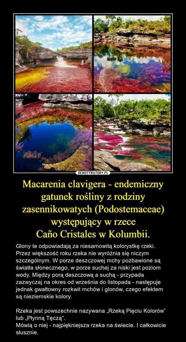 """Macarenia clavigera - endemiczny gatunek rośliny z rodziny zasennikowatych (Podostemaceae) występujący w rzeceCaño Cristales w Kolumbii. – Glony te odpowiadają za niesamowitą kolorystkę rzeki. Przez większość roku rzeka nie wyróżnia się niczym szczególnym. W porze deszczowej mchy pozbawione są światła słonecznego, w porze suchej za niski jest poziom wody. Między porą deszczową a suchą - przypada zazwyczaj na okres od września do listopada - następuje jednak gwałtowny rozkwit mchów i glonów, czego efektem są nieziemskie kolory. Rzeka jest powszechnie nazywana """"Rzeką Pięciu Kolorów"""" lub """"Płynną Tęczą"""". Mówią o niej - najpiękniejsza rzeka na świecie. I całkowicie słusznie."""