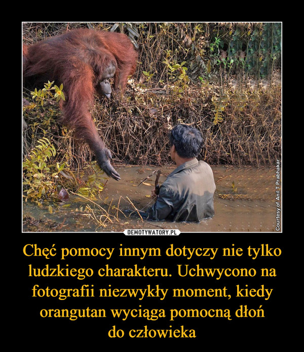 Chęć pomocy innym dotyczy nie tylko ludzkiego charakteru. Uchwycono na fotografii niezwykły moment, kiedy orangutan wyciąga pomocną dłońdo człowieka –