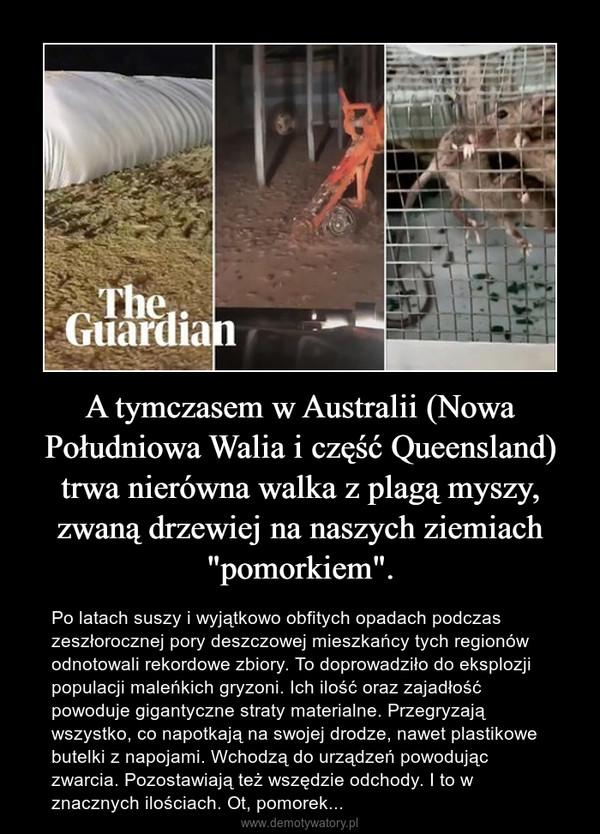 """A tymczasem w Australii (Nowa Południowa Walia i część Queensland) trwa nierówna walka z plagą myszy, zwaną drzewiej na naszych ziemiach """"pomorkiem"""". – Po latach suszy i wyjątkowo obfitych opadach podczas zeszłorocznej pory deszczowej mieszkańcy tych regionów odnotowali rekordowe zbiory. To doprowadziło do eksplozji populacji maleńkich gryzoni. Ich ilość oraz zajadłość powoduje gigantyczne straty materialne. Przegryzają wszystko, co napotkają na swojej drodze, nawet plastikowe butelki z napojami. Wchodzą do urządzeń powodując zwarcia. Pozostawiają też wszędzie odchody. I to w znacznych ilościach. Ot, pomorek..."""