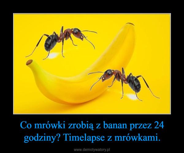 Co mrówki zrobią z banan przez 24 godziny? Timelapse z mrówkami. –