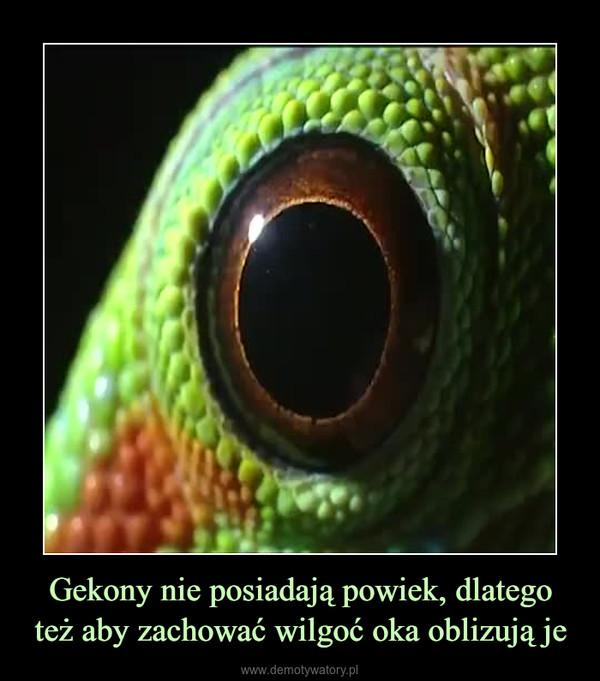Gekony nie posiadają powiek, dlatego też aby zachować wilgoć oka oblizują je –