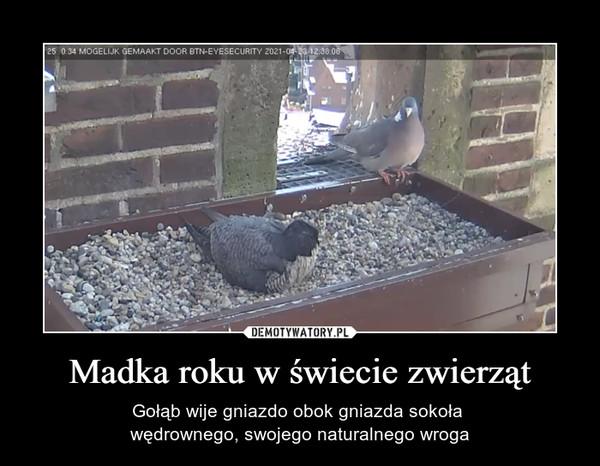 Madka roku w świecie zwierząt – Gołąb wije gniazdo obok gniazda sokoła wędrownego, swojego naturalnego wroga