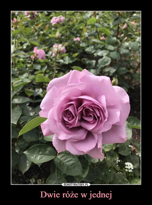 Dwie róże w jednej