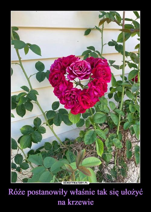 Róże postanowiły właśnie tak się ułożyć na krzewie