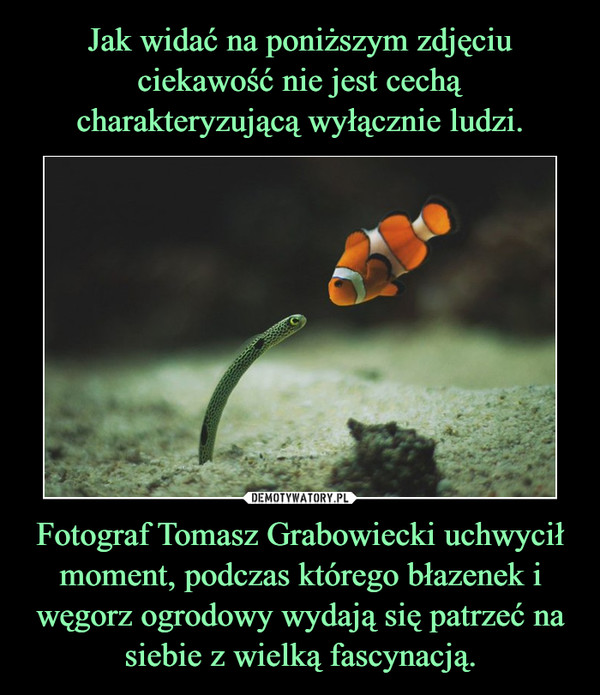 Fotograf Tomasz Grabowiecki uchwycił moment, podczas którego błazenek i węgorz ogrodowy wydają się patrzeć na siebie z wielką fascynacją. –