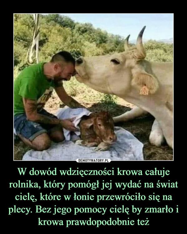W dowód wdzięczności krowa całuje rolnika, który pomógł jej wydać na świat cielę, które w łonie przewróciło się na plecy. Bez jego pomocy cielę by zmarło i krowa prawdopodobnie też –