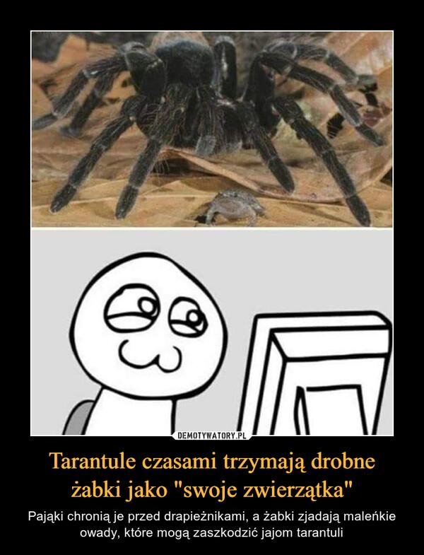 """Tarantule czasami trzymają drobneżabki jako """"swoje zwierzątka"""" – Pająki chronią je przed drapieżnikami, a żabki zjadają maleńkie owady, które mogą zaszkodzić jajom tarantuli"""