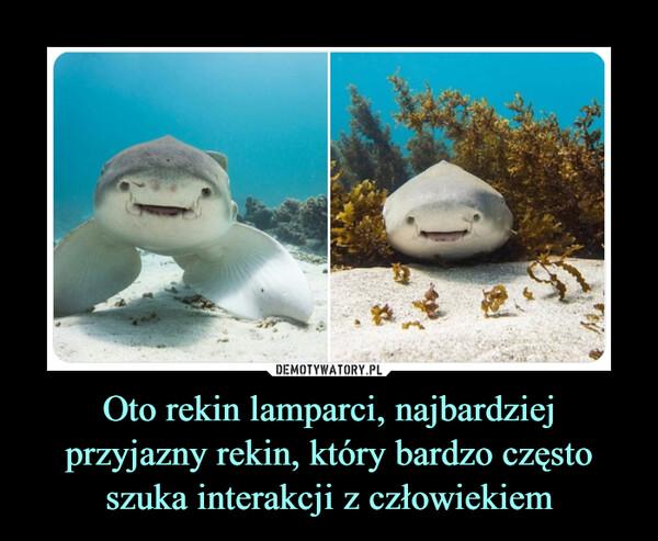 Oto rekin lamparci, najbardziej przyjazny rekin, który bardzo często szuka interakcji z człowiekiem –